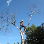 Over Mature Grey Birch 8