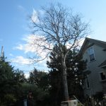 Over Mature Grey Birch 1