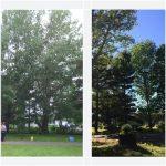 Massive Cottonwood Removal 1