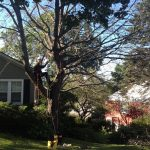 Full Removal of Norway Maple 1
