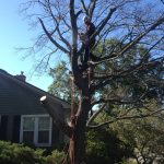 Full Removal of Norway Maple 2