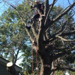 Full Removal of Norway Maple 3