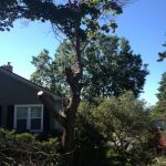 Full Removal of Norway Maple 4