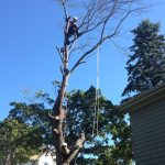 Full Removal of Norway Maple 5