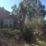 Full Removal of Norway Maple 6