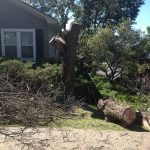 Full Removal of Norway Maple 7