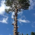 Complete Removal of Large Pine 5