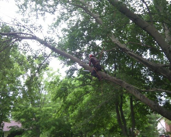 Massive Cottonwood Removal