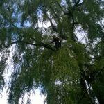 Monster Willow 2