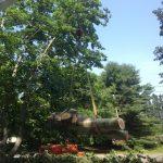 Massive Cottonwood Removal 13