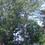 Massive Cottonwood Removal 5