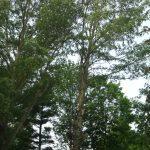 Massive Cottonwood Removal 6