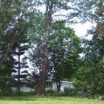 Massive Cottonwood Removal 7