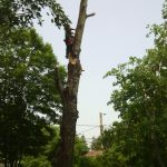 Massive Cottonwood Removal 9