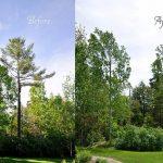 Monster White Pine Full Removal 1