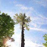 Monster White Pine Full Removal 10