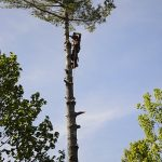 Monster White Pine Full Removal 12