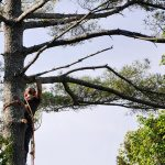 Monster White Pine Full Removal 2