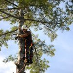 Monster White Pine Full Removal 8