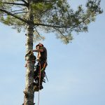 Monster White Pine Full Removal 9