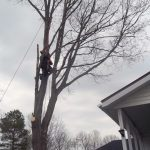 Full removal of Sugar Maple 9