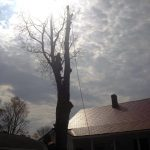 Full removal of Sugar Maple 8